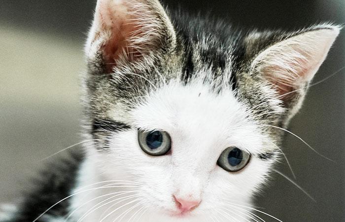 Basic Kitten